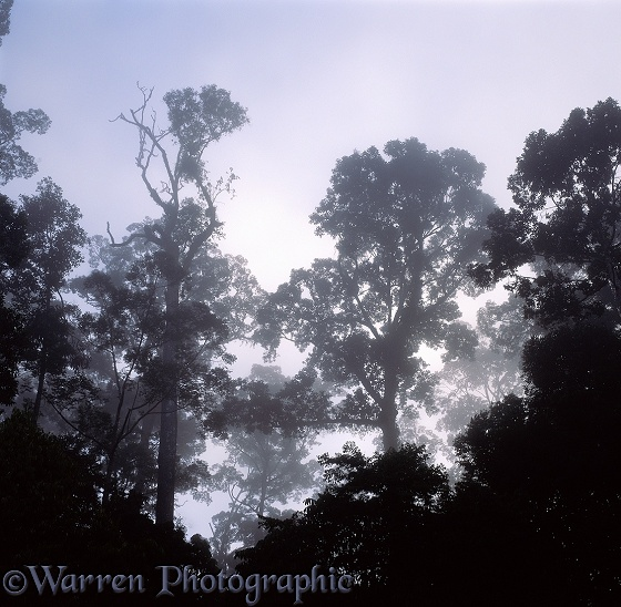 Misty tropical rainforest at dawn.  Danum Valley, Borneo
