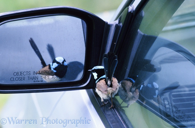 A Superb Fairy Wren (Malurus cyaneus) male attacks its own reflection in a car wing-mirror.  Australia