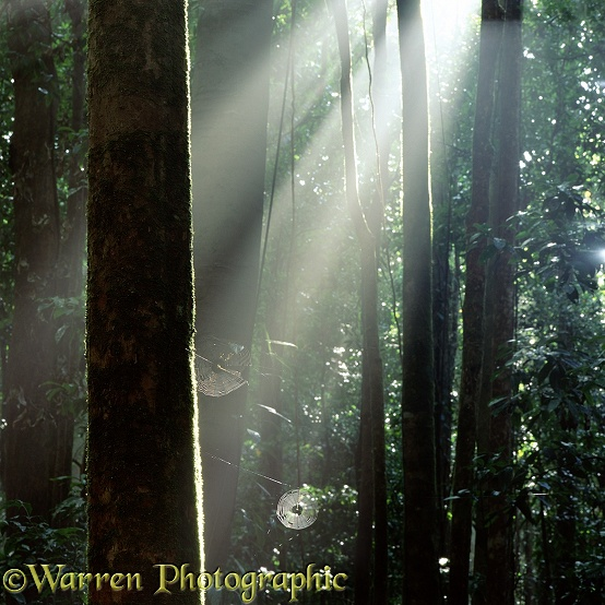 Sunbeams lighting spider's webs in tropical rainforest.  Queensland, Australia