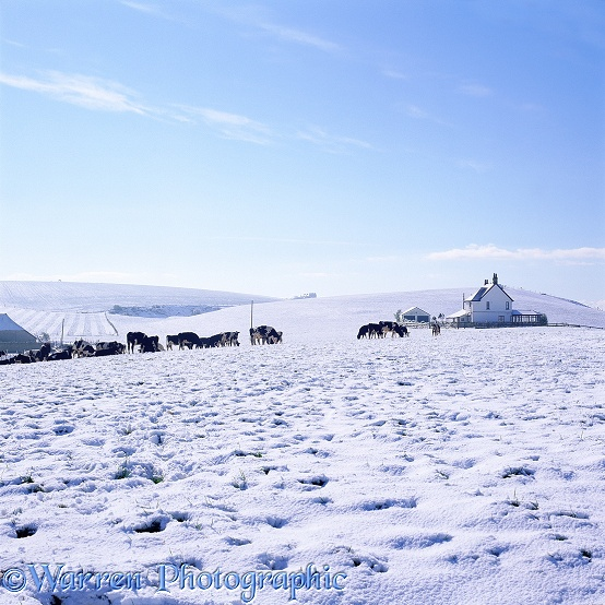 Rural scene with cows and snow.  Dorset, England