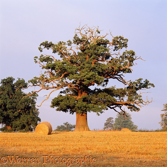Oak tree and bales