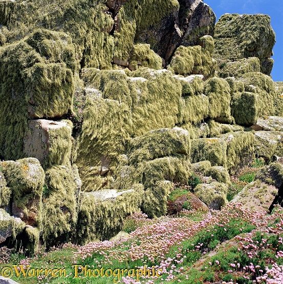 Lichen-covered rocks and Thrift.  Scilly Isles, England