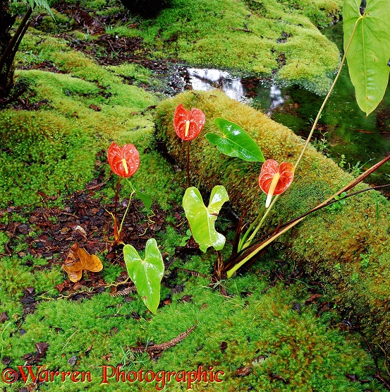 Tail Flowers (Anthurium andraeanum)