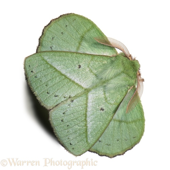 Green leafy moth.  Borneo, white background