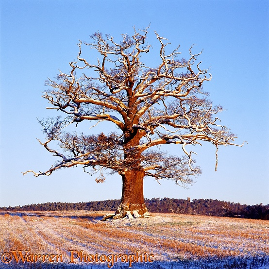 English Oak (Quercus robur) - Winter (28-12-2000).  Surrey, England