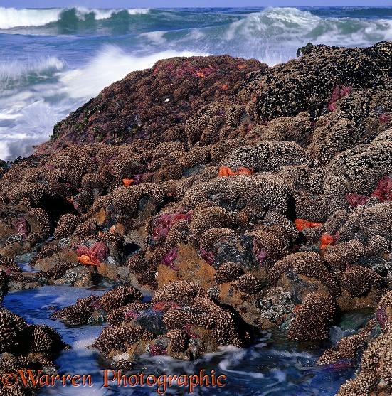 Vancouver Island Starfish