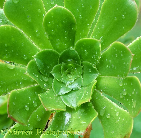 Aeonium arboreum with raindrops