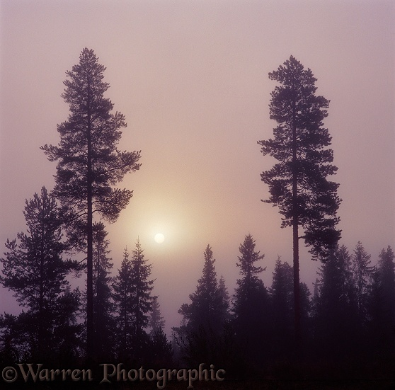 Pines and mist at sunrise.  Finland