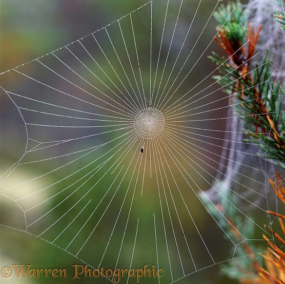 Unfinished orb web with dew.  Finland