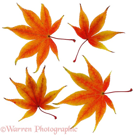Japanese Maple (Acer palmatum) leaves, white background