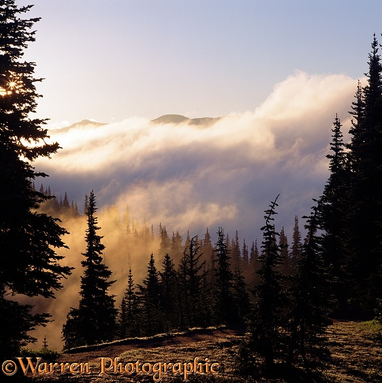 Sunrise on misty clouds, blowing through Subalpine Fir (Abies lasiocarpa).  Washington State, USA