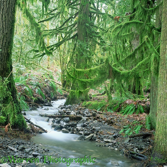 Moss-covered temperate rainforest.  British Columbia, Canada