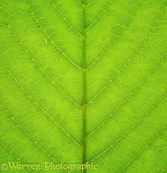Detail of a Sweet Chestnut (Castanea sativa) leaf