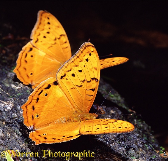 The Cruiser (Vindula arsinoe) butterflies.  Australia