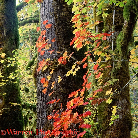 Colourful autumnal leaves of Vine Maple (Acer circinatum).  Western N. America
