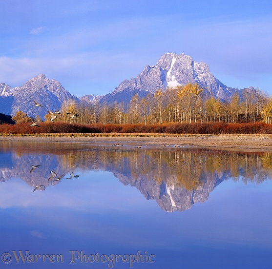 Canada Geese (Branta canadensis) and mountains reflected in a still lake.  Wyoming, USA