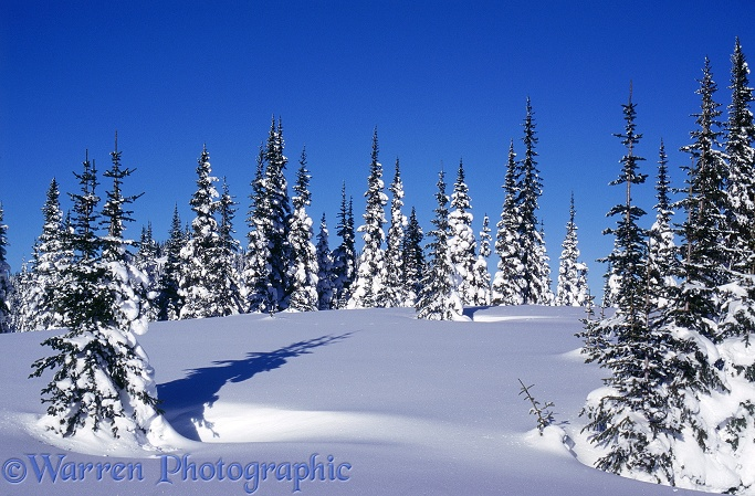 Fresh snow and Subalpine Firs (Abies lasiocarpa).  British Columbia, Canada