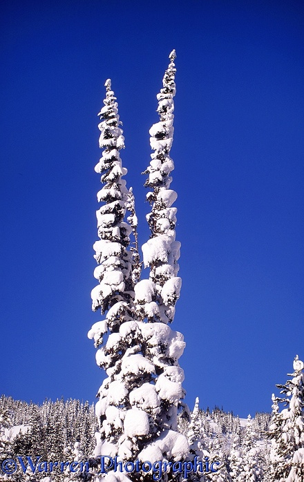Snow on Subalpine Fir (Abies lasiocarpa).  British Columbia, Canada