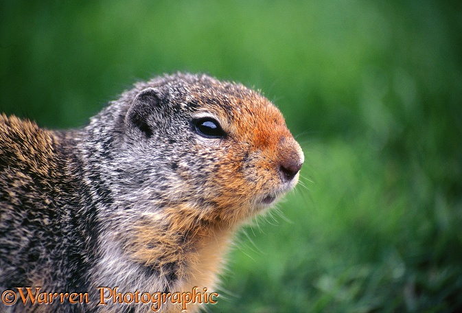 Columbian Ground Squirrel (Citellus columbianus).  North America