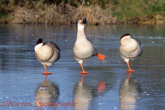 Chinese Geese (Anser cygnoides) on a frozen pond