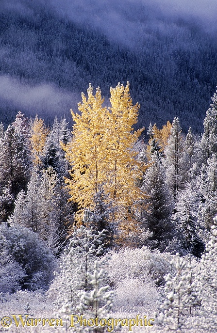 Early snow on autumnal Black Cottonwoods (Populus trichocarpa).  British Columbia, Canada