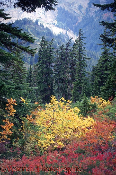 Colourful red Blueberry bushes (Vaccinium myrtillus) and yellow Western Mountain-ash (Sorbus scopulina) interspersed with the dark green of Mountain Hemlock (Tsuga mertensiana).  Washington State, USA