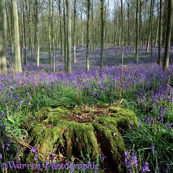 Bluebell woods.  Surrey, England