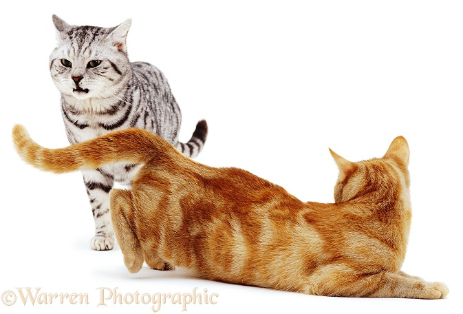 Silver Tabby Cat, flehming. Ginger female in lordosis (mating posture), white background