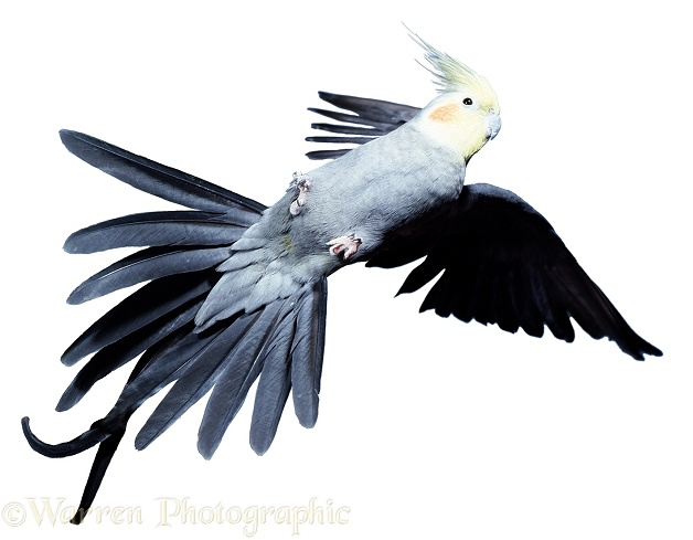 Cockatiel (Nymphicus hollandicus) taking off.  Australia, white background