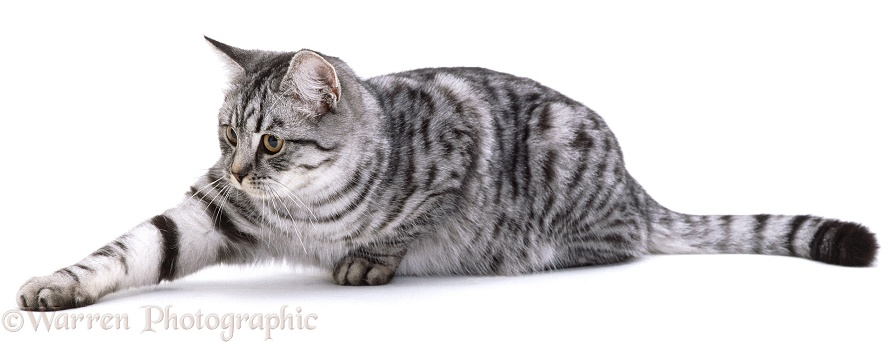 Silver spotted tabby female cat, Aster, white background
