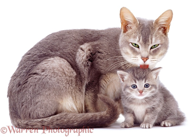 Blue-agouti Burmese mother cat, Bella, licking an agouti kitten, white background