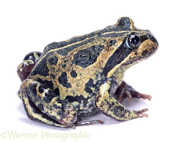 Banjo Frog (Limnodynastes dorsalis), white background
