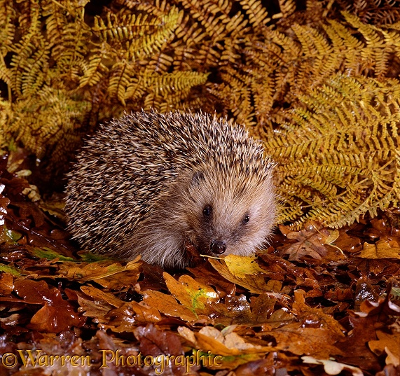 European Hedgehog (Erinaceus europaeus) in autumn