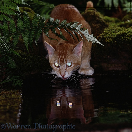 Ginger cat, drinking from a pond at night, his eyes reflecting the light and reflecting on the water