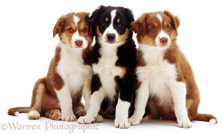 Sable Border Collie Brak and partners, white background