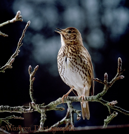 Song Thrush (Turdus philomelos) singing on a branch