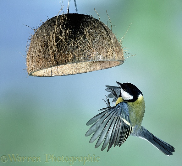 Great Tit (Parus major) flying up to alight under a coconut bird-feeder