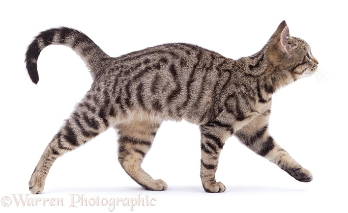 Brown tabby cat walking
