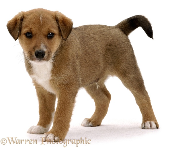 Lakeland Terrier x Border Collie, Henry, 6 weeks old, white background