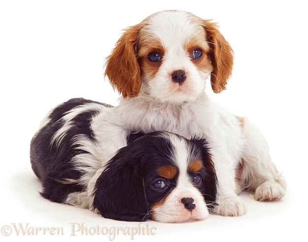 Cavalier King Charles puppies, white background