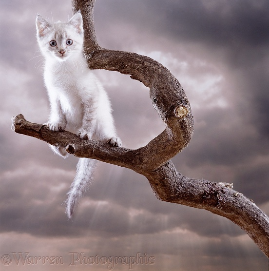 Sepia tabby-point Bengal-cross kitten climbing on a branch
