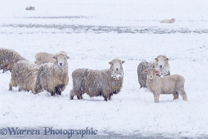 Sheep in Spring snow.  New Zealand