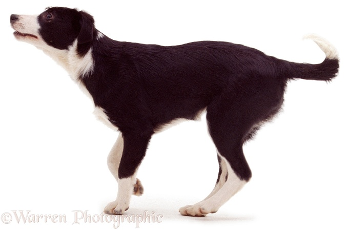 Black-and-white Border Collie, white background