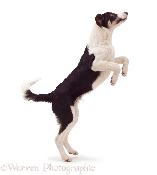 Black-and-white Border Collie jumping up, white background