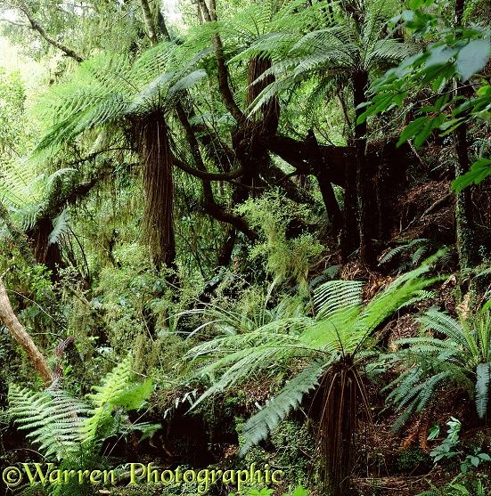 Temperate rainforest with tree ferns.  New Zealand