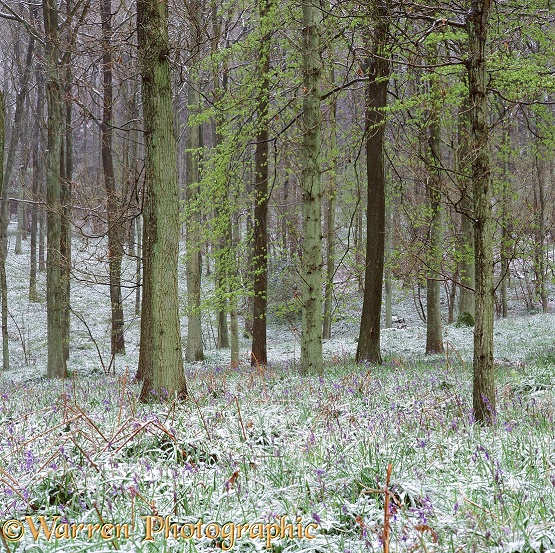 Bluebell woods in Spring snow.  Surrey, England
