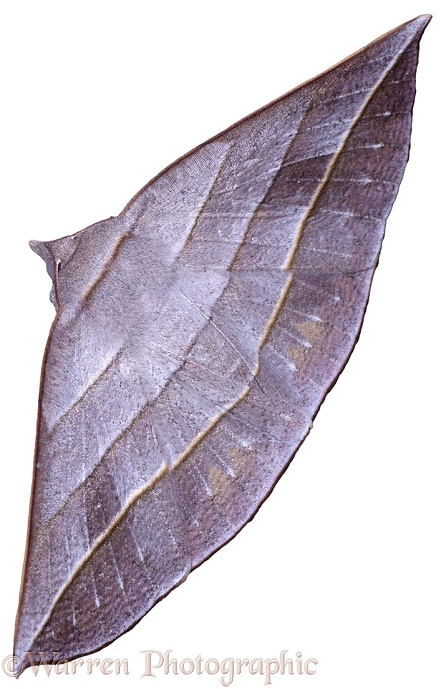 Leafy Moth.  Borneo, white background