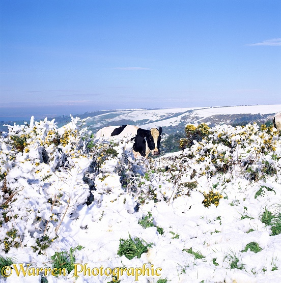 Cow and snowy gorse.  Dorset, England