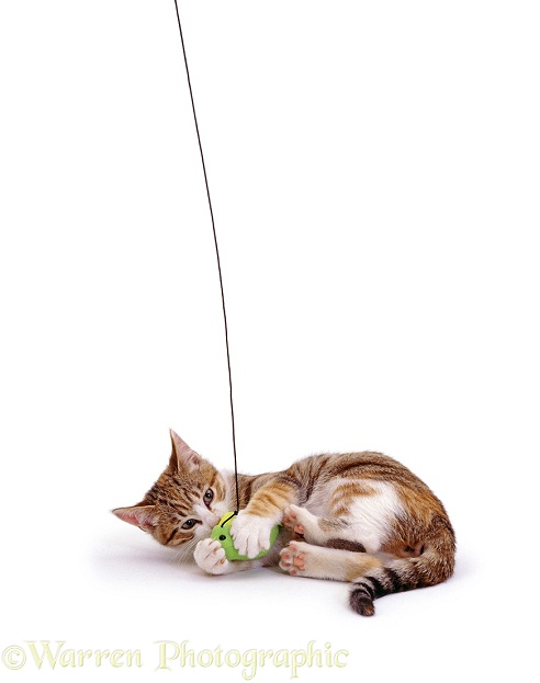 Kitten fishing, white background