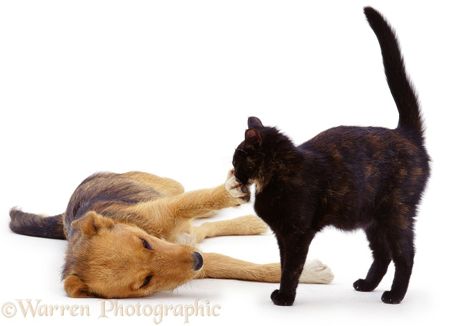 Lakeland Terrier x Border Collie, Bess, pawing Tortoiseshell cat, Blackie, white background